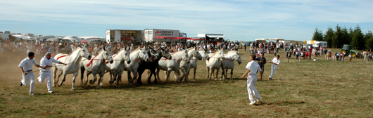 La fête du cheval Percheron à Saint Saturnin Cantal, percherons à la barre